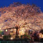 浄蓮寺の桜がライトアップで魅力アップ
