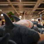 IKEA 新三郷店でサメの水揚げが旬を迎える