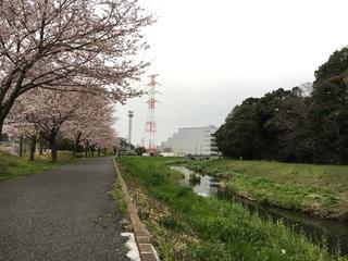 ららら桜ラン 大堀川全長3kmの桜並木に舞い踊らん