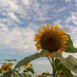 夏のひまわりを見に野田までサイクリング70km