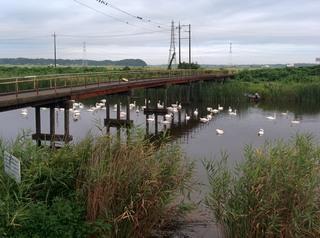 白鳥の湖 手賀沼のコブハクチョウと谷津田