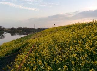 江戸川、土手沿い、菜の花ライン360°