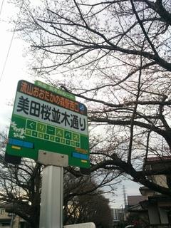 美田桜並木通りの桜 開花