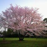 一本いっとく?一本桜広場