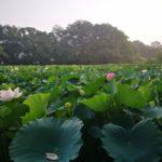 理窓会記念自然公園の蓮の花が見頃を迎える